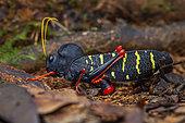 Grasshopper (Monachidium lunum) female laying eggs, Kaw, French Guyana