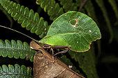 Sauterelle-feuille (Typophyllum lunatum) on a leaf, Kaw, French Guiana