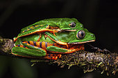Tiger-striped leaf frog (Phyllomedusa tomopterna) amplexus, Kaw, French Guiana