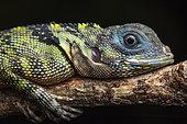 Blue-lipped tree lizard (Plica umbra) portrait, Kaw, French Guiana