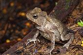 South American Common Toad (Rhinella margaritifera), Kaw, French Guiana