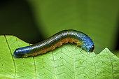 Tenthrède sélandrine (Selandriinae sp) larve sur une feuille, Kaw, Guyane Française