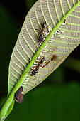 Treehopper (Membracis sp) and nymphs protected byTrap-jaw ant (Odontomachus sp) on a leaf, kaw, French Guiana