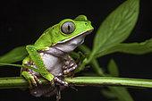 White-lined leaf frog (Phyllomedusa vaillantii) portrait, Kaw, French Guiana
