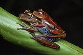 Amapa tree frog (Hypsiboas dentei) amplexus, French Guiana