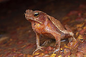 South American Common Toad (Rhinella margaritifera) portrait, Belizon, French Guiana