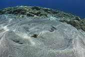 Round Stingray (Taeniura grabata), Tenerife. It is common to see them buried in the sandy bottom, where they go unnoticed. Fish of the Canary Islands.