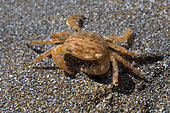 Crab (Planes minutus). It is a pelagic species found in the open sea, although sometimes depending on the tides it can appear stranded on coastal beaches. Marine invertebrates of the Canary Islands, Tenerife.