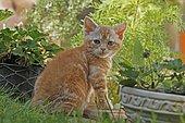 American Wirehair cat in the garden