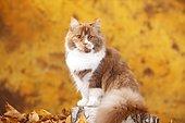 British Longhair, tomcat, cinnamon-tortie-white, highlander, sits on tree trunk in autumn leaves, autumnal
