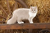 British longhair, lilac-white, 5 months, stands on wooden beams, straw in the back