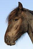 Landais Pony (Equus ferus caballus), portrait, The Netherlands, Europe