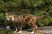 American wirehair, adult on a low wall