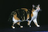 American Wirehair, adult on black background
