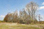 Rook (Corvus frugilegus) breeding colony, North Rhine-Westphalia, Germany, Europe
