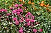 Rhododendron Park Bad Sassendorf, rhododendron and azalea in bloom, North Rhine-Westphalia, Germany, Europe