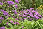 Rhododendron Park Bad Sassendorf, rhododendrons and azaleas in bloom, ostrich fern (Matteuccia struthiopteris), funnel fern, North Rhine-Westphalia, Germany, Europe
