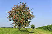 European rowan (Sorbus aucuparia), tree on a field path, branches with fruits, blue sky, North Rhine-Westphalia, Germany, Europe