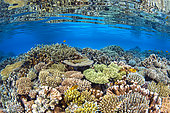 Coral biodiversity of the North Reef of Mayotte, diversity and abundance of coral of the North Reef of Mayotte.
