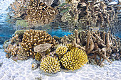 An aquatic garden, like a flower garden of a thousand hues, the corals displaying various colours sublimate the northern reef of Mayotte.