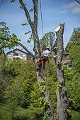 Woodcutter felling a lime tree in spring, Moselle, France