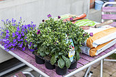 Daisybush (Osteospermum sp) and Bellflower (Campanula sp) on a table before planting in spring, Pas de Calais, France