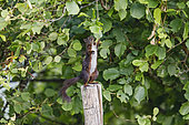 Red squirrel (Sciurus vulgaris) eating hazelnuts, standing on a pole, Alsace, France