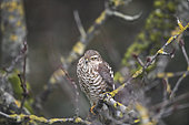 Sparrowhawk (Accipiter nisus) on a branch, Alsace, France