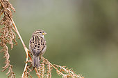 House sparrows (Passer domesticus) on a fern, Alsace, France