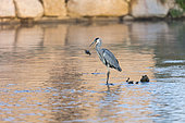 Grey Heron (Ardea cinerea) fishing a catfish, Kembs, Alsace, France