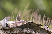 Young Black Redstart (Phoenicurus ochruros) on a piece of rusty metal, Alsace, France