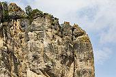 Griffon Vulture (Gyps fulvus) on the cliffs of the gorges de la Jonte, Lozere, France