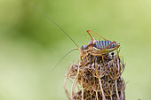 Saddle-backed Bush-cricket (Ephippiger ephippiger) on Wild Carrot (Daucus carota), Causse de Mende, Lozere, France