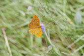 Silver-washed Fritillary (Argynnis paphia) male on a flower, Charpal lake, Lozere, France