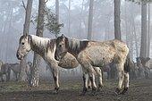 Two fallen Dülmen wild horses in winter coat standing side by side at the edge of the forest, behind them herd of horses in the foggy forest, Merfelder Bruch, Dülmen, North Rhine-Westphalia, Germany, Europe