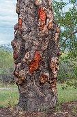 Trunk of the marula tree or elephant tree (Sclerocarya birrea), Okavango Delta, Botswana, Africa