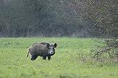 Wild boar (Sus scrofa) female on meadow, Springtime, Germany
