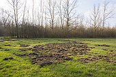 Game damage from wild boars on meadow, Springtime, Germany, Europe