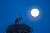 White stork (Ciconia ciconia) on nest at full moon, Hesse, Germany