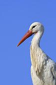 White stork, Ciconia ciconia, Hesse, Germany, Europe