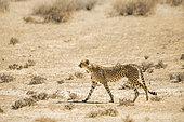 Guépard (Acinonyx jubatus) marchant dans le sable, parc transfrontalier de Kgalagari, Afrique du Sud.