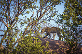 Leopard (Panthera pardus) walking on a rock in Kruger National park, South Africa