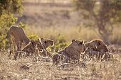 Pride of African lions (Panthera leo) waking up in Kruger National park, South Africa
