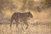 African lion (Panthera leo) walking in backlit savannah in Kruger National park, South Africa