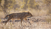 Young African lion (Panthera leo) walking in backlit savannah in Kruger National park, South Africa