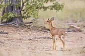 Steenbok (Raphicerus campestris) standing in alert in Kruger National park, South Africa