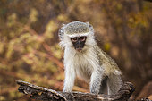 Cute young Vervet monkey (Chlorocebus pygerythrus) with natural background in Kruger National park, South Africa