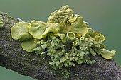 Yellow lichens (Xanthoria polycarpa), Bad Hersfeld, Bad Hersfeld, Hesse, Germany, Europe