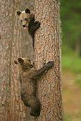 Brown Bears (Ursus arctos), cubs climbing a tree, Suomussalmi, Kainuu, Finland, Europe