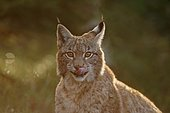 Eurasian Lynx (Lynx lynx), captive, Czech Republic, Europe